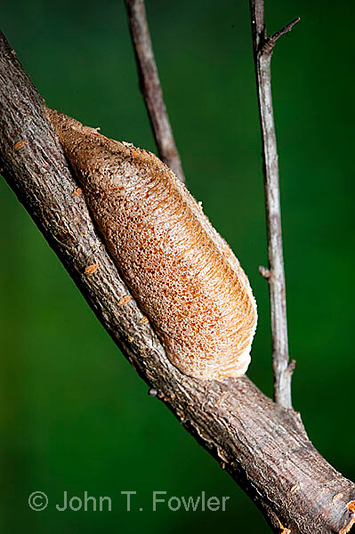 Praying Mantis egg case, mantid