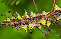 393950001 a group of thorn treehoppers or thornbugs umbonia crassicornis perch on a small plant vine in hidalgo county in the rio grande valley of south texas