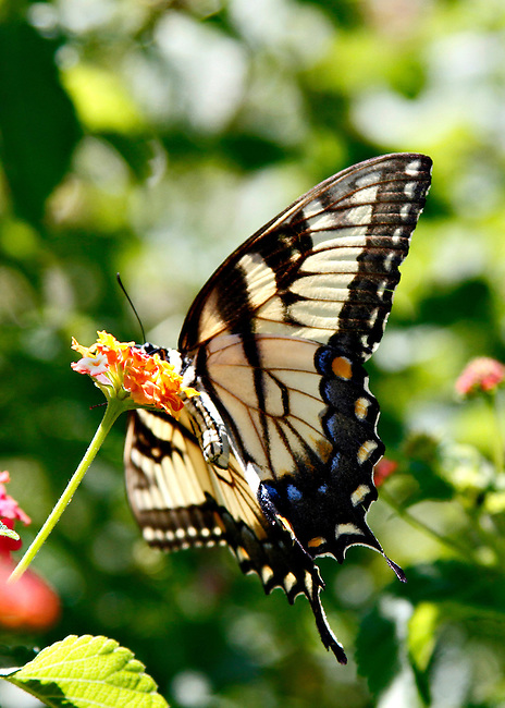 Taken from below showing underside of butterfly, a female Eastern Tiger Swallowtail  with wings fully spread and body curved balances on a flower in the North Carolina Botanical Gardens.