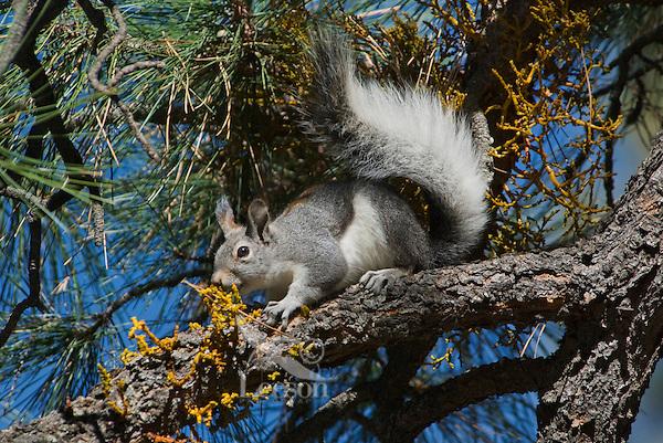 Abert's Squirrel (Sciurus aberti) eating dwarf mistletoe growing on ponderosa pine.  South Rim, Grand Canyon area, Arizona.