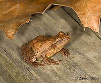 0302-0908  Spring Peeper Frog, Pseudacris crucifer (formerly: Hyla crucifer)  © David Kuhn/Dwight Kuhn Photography