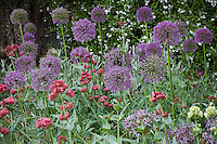 Allium 'Mars' (hybrid of A. stipitatum and A. aflatunense) ornamental onion flower in Filoli garden border