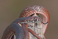 414130006 a wild juvenile eastern coachwhip masticophis flagellum coils on a fallen tree near boykin springs jasper county texas united states