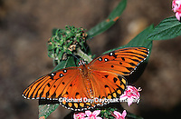 03305-001.06 Gulf Fritillary (Agraulis vanillae) on Pentas (Pentas sp) Peggy Notabart Nature Center Chicago  IL