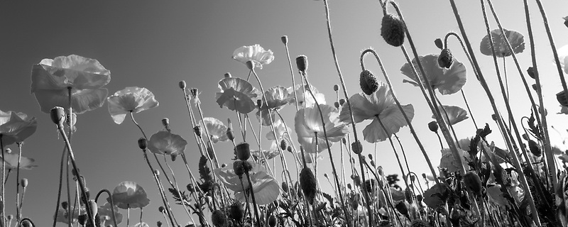 V00151M.tiff   Poppies from ground view. Near Junction City, Oregon