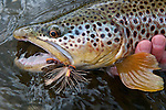 A brown trout caught on a Montana trout stream using salmon fly pattern (i.e., Godzilla Salmon Stone).