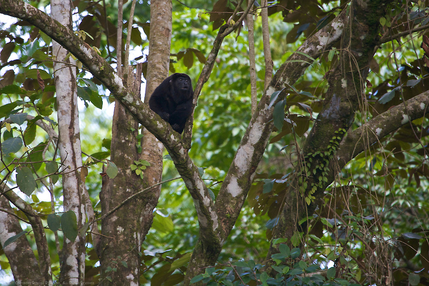 Howler monkey resting in a tree