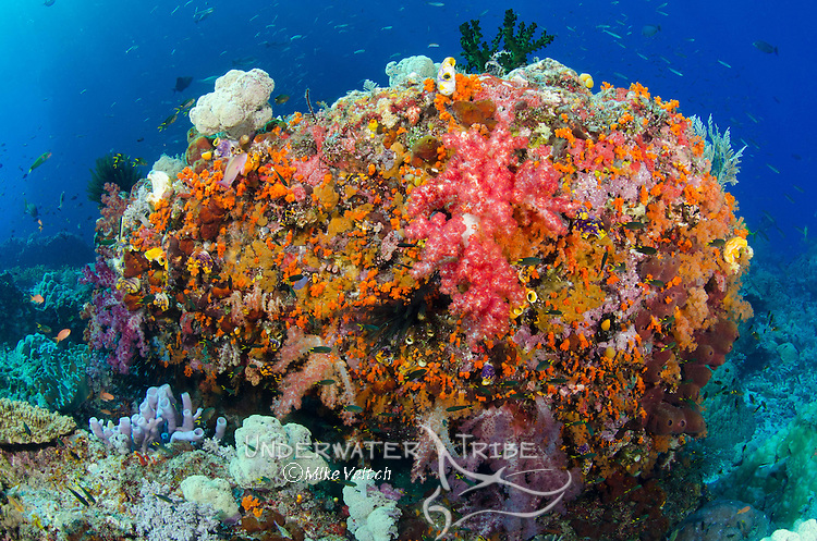 A shallow bommie covered in soft corals, Dendronephthya sp, Raja Ampat, Indonesia, Pacific Ocean