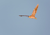Juvenile Black-Crowned Night Heron in flight in evening light