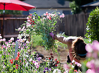Woman farmer harvesting sweet peas for Lotts of Flowers, Chico California cut flower small business