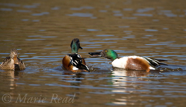 Northern Shovelers (Anas clypeata), two males during aggressive interaction, Huntington Beach, California, USA