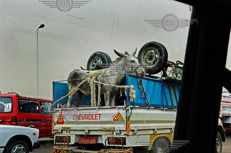 Donkey on a loaded truck in traffic.