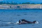 Orca (Orcinus orca), San Juan Island, Washington