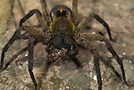 Wolf spider, Family Lycosidae, Manu Peru, jungle, amazon,  on leaf, feeding on prey, cricket, insect.South America....