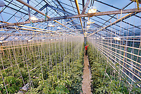 Greenhouse Tomato Growing w/Supplementary High Pressure Sodium Vapor Lighting, Iceland