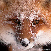 A red fox offers an intense look as it endures the harsh winter of Alaska's north slope.