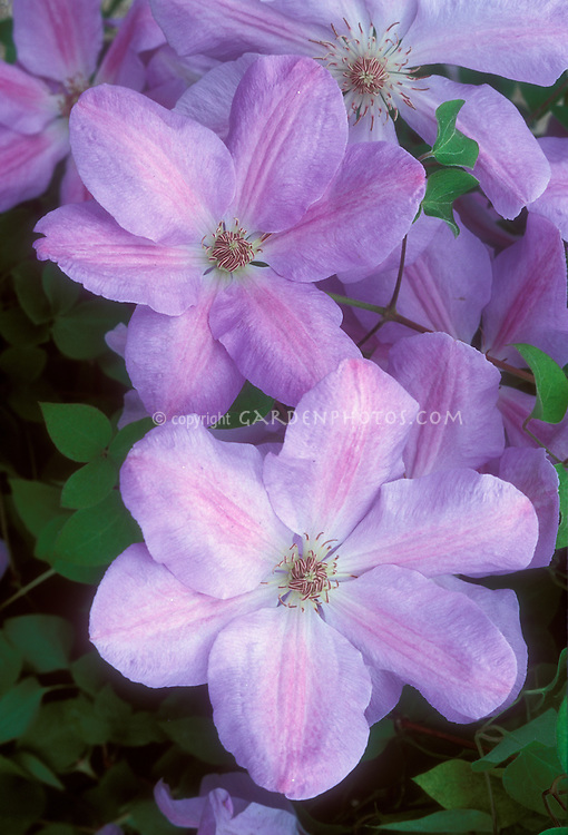 Clematis 'Special Occasion' (Patens Group Clematis) in pink flowers, climbing vine perennial