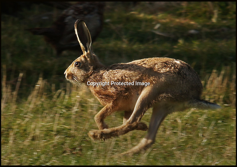 BNPS.co.uk (01202 558833)<br /> Pic: AdamTatlow/BNPS<br /> <br /> This hare raced past Adam whilst he was in his Land rover.<br /> <br /> Cotswold gamekeeper shoots amazing pictures of British wildlife - without the aid of long lenses and elaborate techniques.<br /> <br /> The incredible photos may look like they have been shot from miles away - but amazingly Adam Tatlow is actually just feet away from his wild subjects.<br /> <br /> The 46-year-old's affinity with nature has allowed him to get up close and personal with some of the UK's most endearing wildlife.<br /> <br /> Adam's trusty camera is never far from his side as he goes about his work as a gamekeeper on an estate in the Cotswolds countryside.<br /> <br /> He has built up a stunning portfolio of snaps that lift the lid on rarely-seen birds and animals found in forests throughout the country.<br /> <br /> Adam's subjects have included timid fox cubs, bounding hares, inquisitive hedgehogs and colourful kingfishers.<br /> <br /> He is so at one with nature that he knows how to call animals to him, and often gets within 30ft of them.
