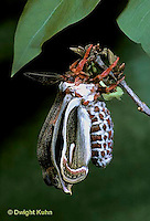 LE03-050x  Cecropia Moth - adult emerging from cocoon, inflating wings - Hyalophora cecropia ..
