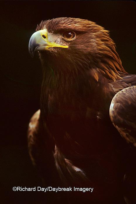 00788-00109 Golden eagle (Aquila chrysaetos) (captive animal)   OR