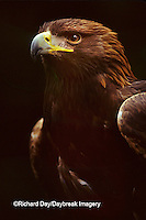 00788-00109 Golden eagle (Aquila chrysaetos) (captive animal)   OR