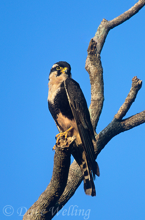 527550010 a wild female aplomado falcon falco femoralis a federally endangered species perches in a dead tree on los ebanos ranch tamaulipas state mexico