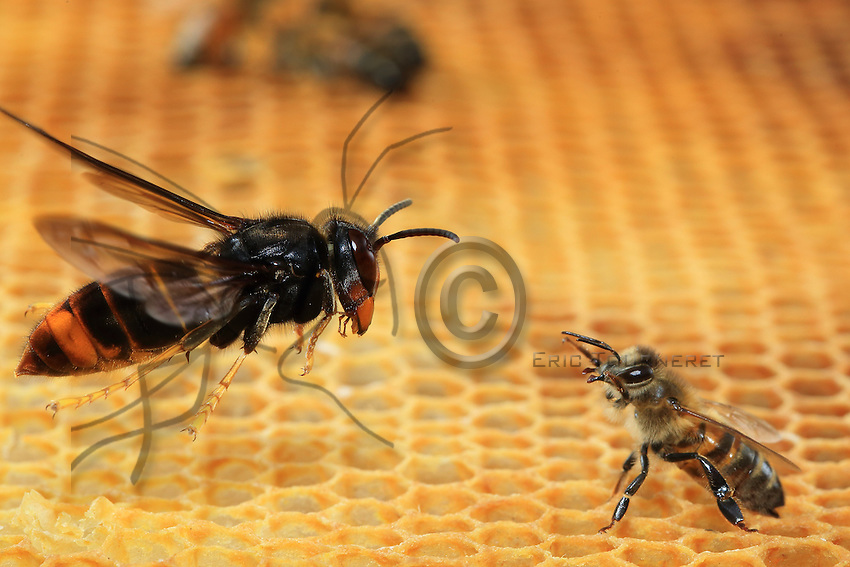 Face-off between a hornet in flight and a bee.///Face à face d'un frelon en vol et d'une abeille.
