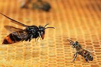 Face-off between a hornet in flight and a bee.///Face à face d'un frelon en vol et d'une abeille.