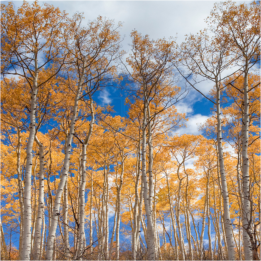 This Colorado image was taken in southern Colorado in the San Juan mountains. The Autumn colors were bright and the sky was blue. The golden aspen leaves were everywhere and it seemed impossible to take a bad Colorado picture on this late September day.