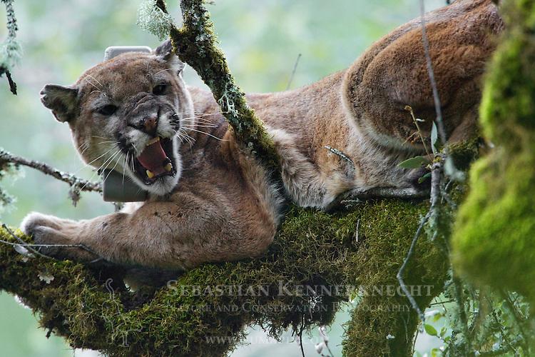 Mountain Lion (Puma concolor) male snarling in tree during attempt to re-collar him, Santa Cruz Puma Project, Uvas Canyon County Park, Santa Cruz Mountains, California