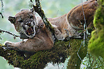 Mountain Lion (Puma concolor) male snarling in tree during attempt to re-collar him, Santa Cruz Puma Project, Uvas Canyon County Park, Santa Cruz Mountains, California