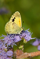 390230003v a wild dainty sulphur nathalis iole perches on a flower at  the naba site in mission hidalgo county lower rio grande valley texas united states