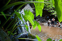 Taro growing next to a waterfall in Nualolo with hikers resting in the background, Na Pali Coast, Kauai