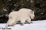 Mountain goat in snow. Snake River Canyon, Wyoming.