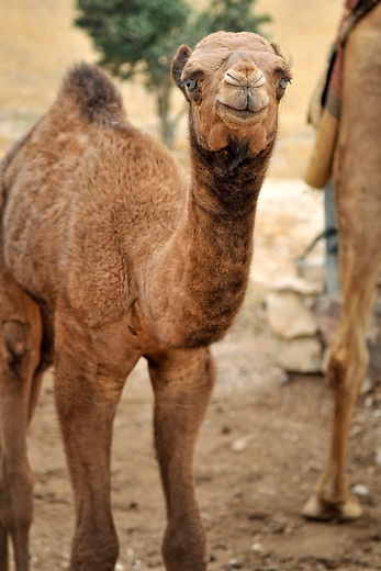 Camel calf near Jerusalem, Israel