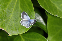 Holly Blue Celastrina argiolus Wingspan 30mm. A familiar sight in mature gardens, especially if the larval foodplants (Holly and Ivy) grow nearby. In flight, looks rather silvery and can be hard to follow. Adult has violet-blue upperwings (seldom revealed at rest) and black-dotted white underwings. Double brooded: flies April-May and August-September. Eggs from spring brood are laid on Holly; in autumn they are laid on Ivy. Larva is green and grub-like. Fairly common in southern England, south Wales and southern Ireland.