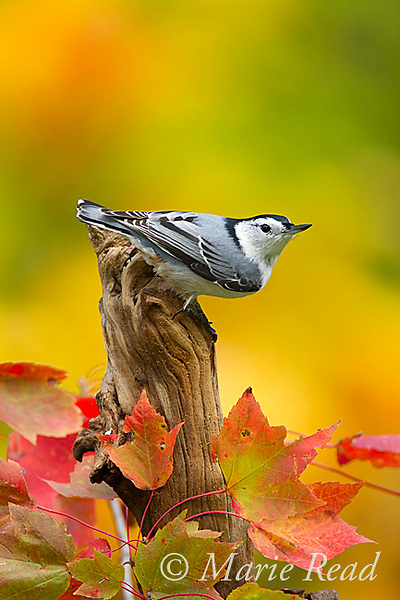 WhIte-breasted Nuthatch (Sitta carolinensis) male perched on stump in early autumn, New York, USA