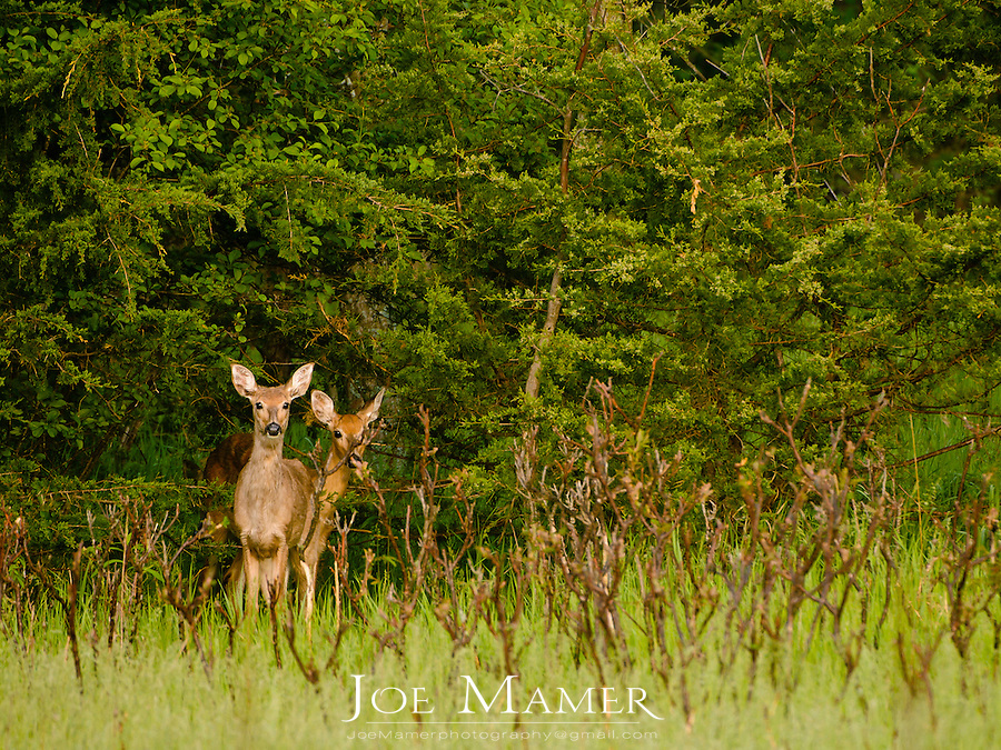 Doe and yearling white-tailed deer at the edge of wooded area.