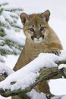 Puma kitten leaning on a snow covered tree stump - CA