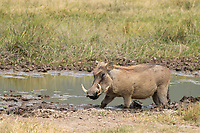 Central African Warthog, Phacochoerus africanus massaicus, cools off in a mudhole in Ngorongoro Crater, Ngorongoro Conservation Area, Tanzania