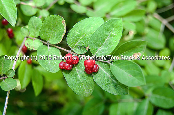 Spicebush with berries close-up, Plymouth, Massachusetts