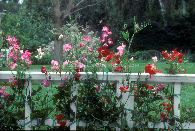 Sweet Peas Lathyrus Odoratus On White Fence Plant