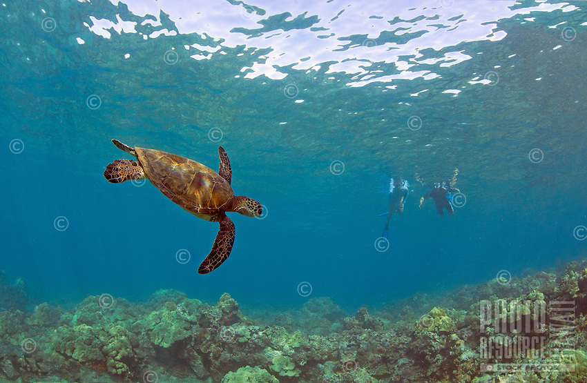 A green sea turtle with snorkelers in the distance in Makena, Maui.