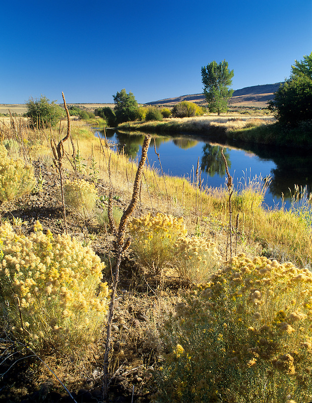 Rabbit brush and Mullen in fall colors along banks of Donner and Blitzen River, Oregon.