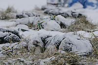 Aaron Burmeister dogs rest during a snowfall at the Nikolai checkpoint on Tuesday afternoon.