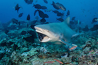 A large Bull Shark, Carcharhinus leucas, clamps down on a tuna head during a shark attraction dive. Beqa Lagoon, Viti Levu, Fiji, Pacific Ocean