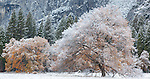 Yosemite National Park, CA: Elm tree with lingering fall color and a dusting of snow in Cook's Meadow, Yosemite Valley
