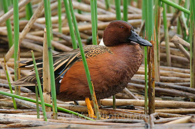 Adult male Cinnamon Teal (Anas cyanoptera). King County, Washington. April.