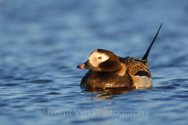 Adult male Long-tailed Duck (Clangula hyemalis) on a tundra pond. Barrow, Alaska. June.