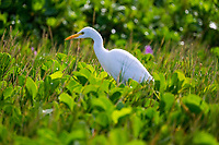 A white cattle egret hunts in the beach morning glory (or pohuehue) ground covering along Ka'anapali Beach on Maui.